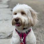 KatyK9dogtraininginToronto_Lily